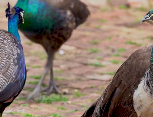 Peafowl Proliferation in the Grove: Is it Paradise or a Problem?