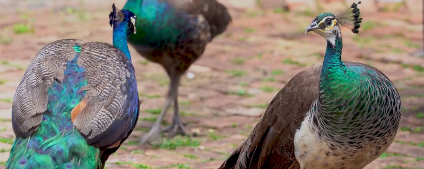 """An image from the video, """"Peafowl Predicament: Friend or 'Foul'?"""""""